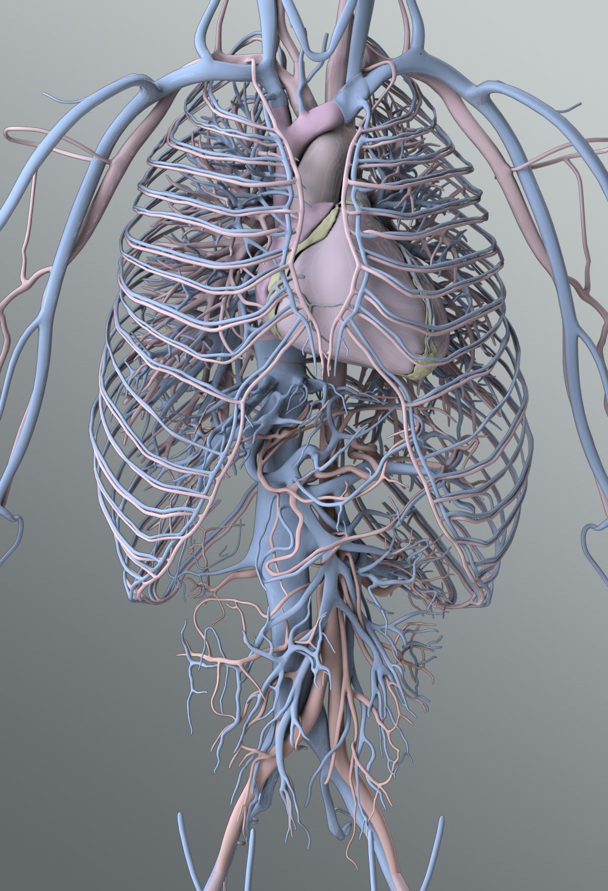 Solid 3D Male Circulatory System