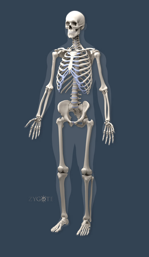 Zygotesolid Cad 3d Male Muscular Skeletal Model
