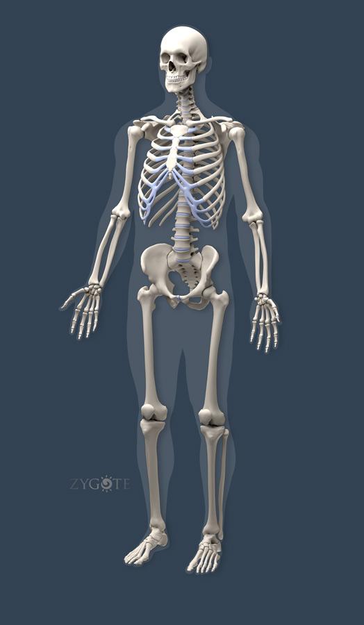 Zygote::Solid (CAD) 3D Male Muscular Skeletal Model
