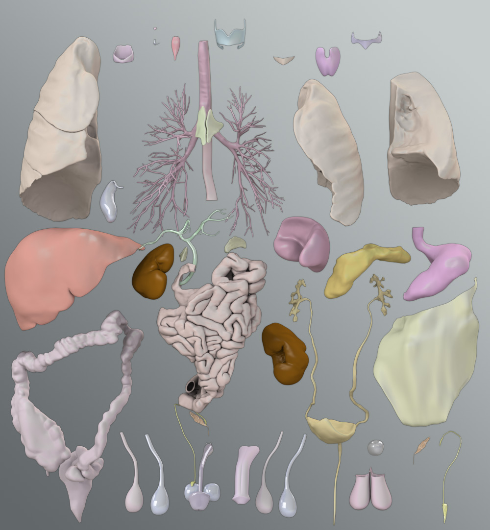 Solid 3D Male Organs