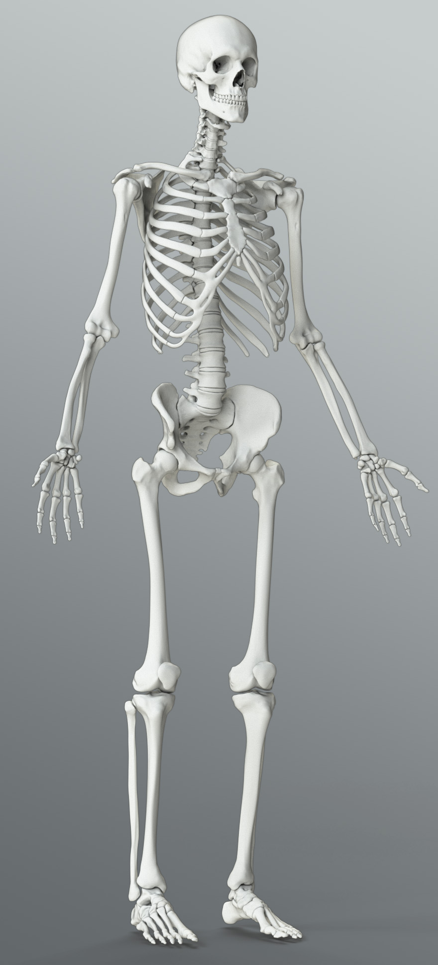 Zygote::Solid 3D Male Skeleton