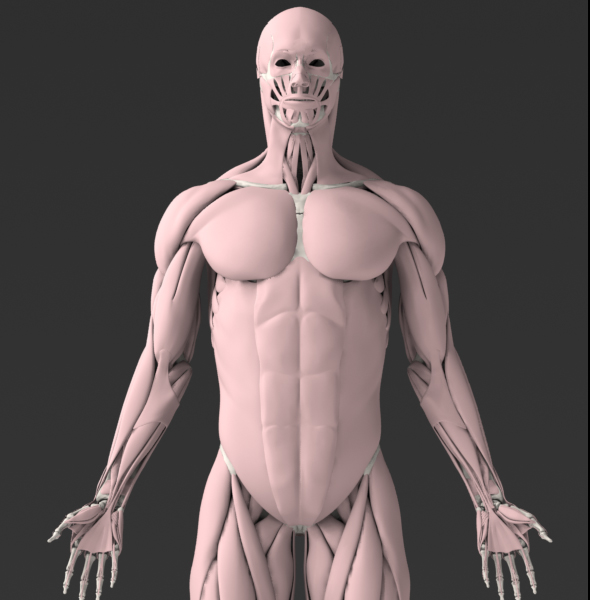Solid 3D Male Muscular System