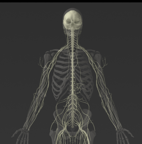 Solid 3D Male Nervous System
