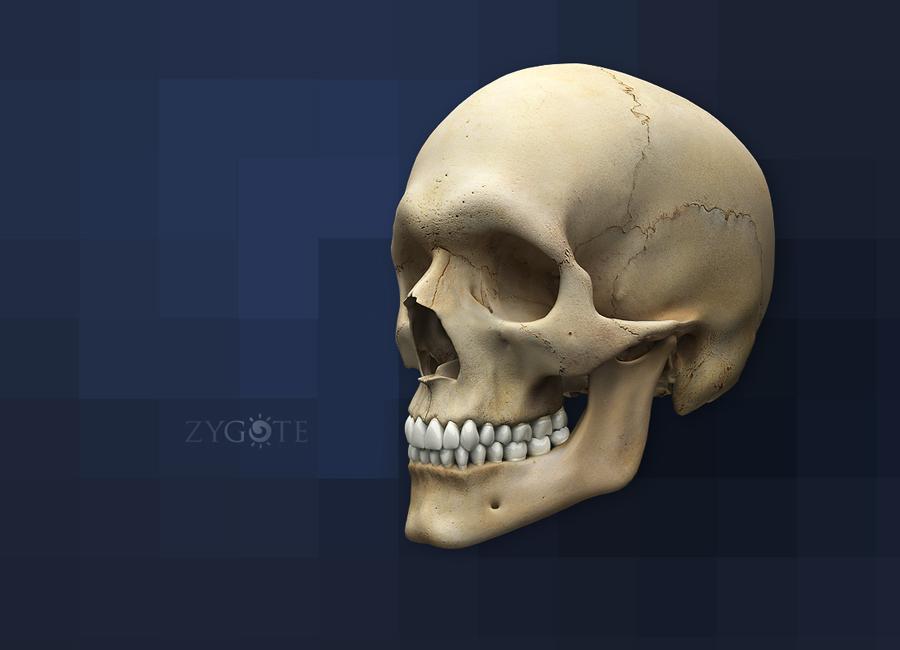 Zygote::3D Articulating Human Skull Model