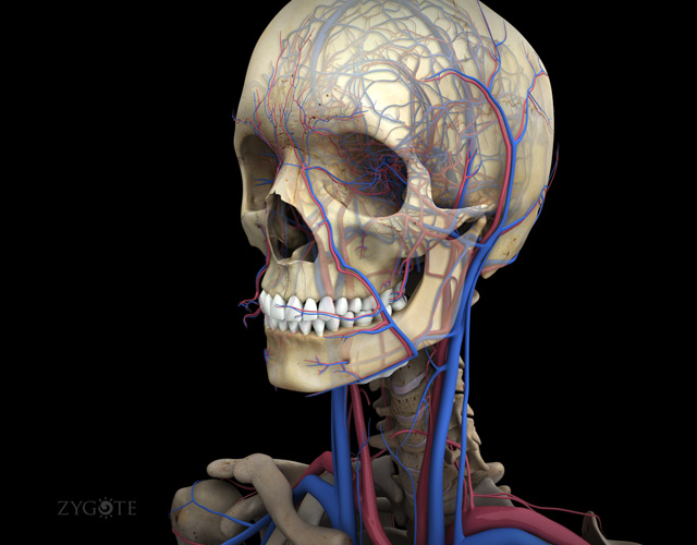 3D Female Circulatory System of the Head