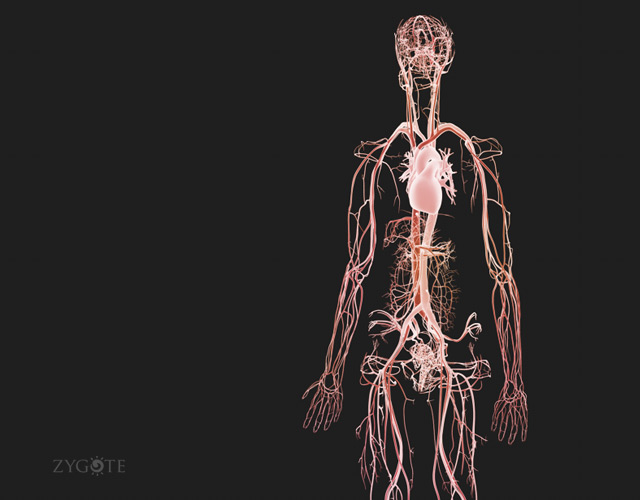 3D Female Circulatory System