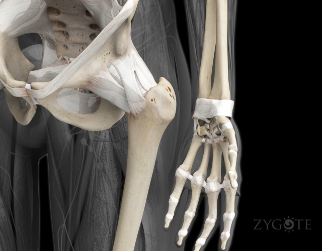 3D Female Ligaments of the Hip