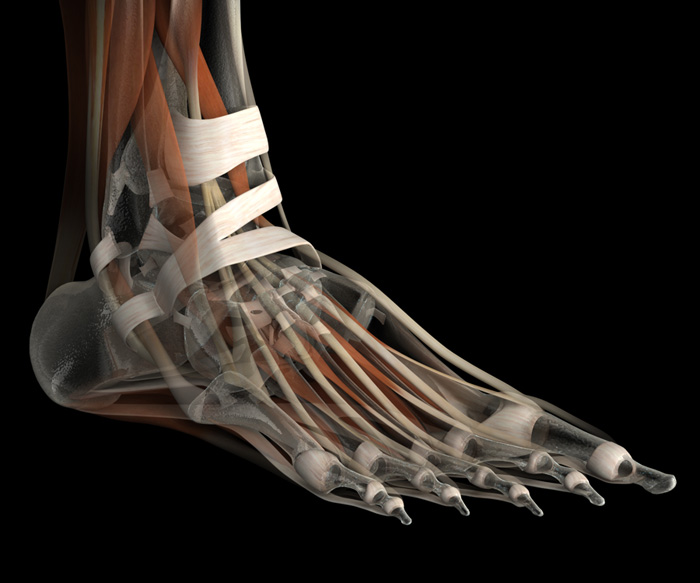 3D Female Ligaments and Muscles of the Foot