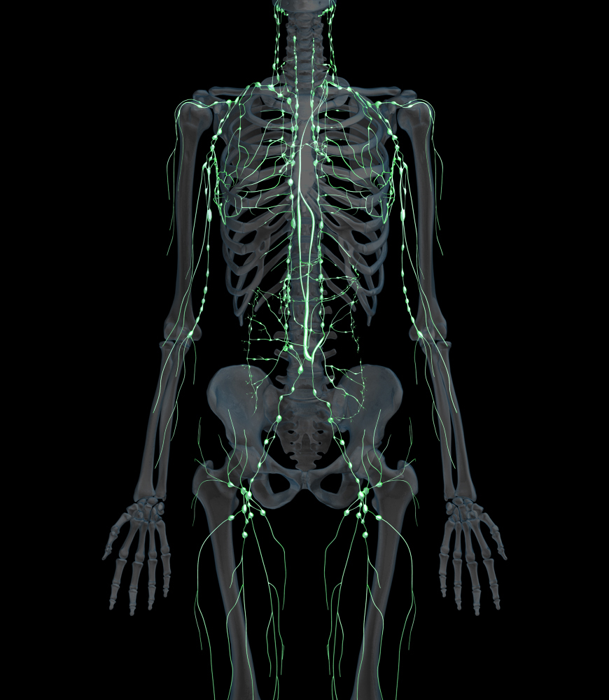 3D Female Lymphatic System with Skeletal System