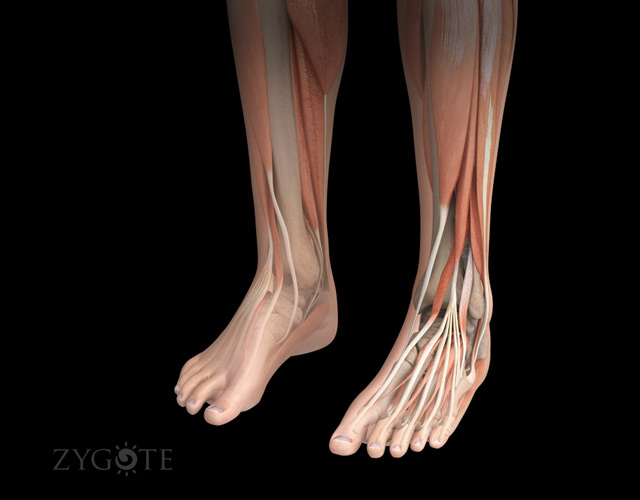 3D Female Muscular System of Lower Legs and Feet