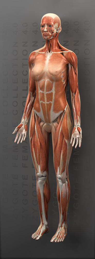 zygote::3d female muscular system, Muscles