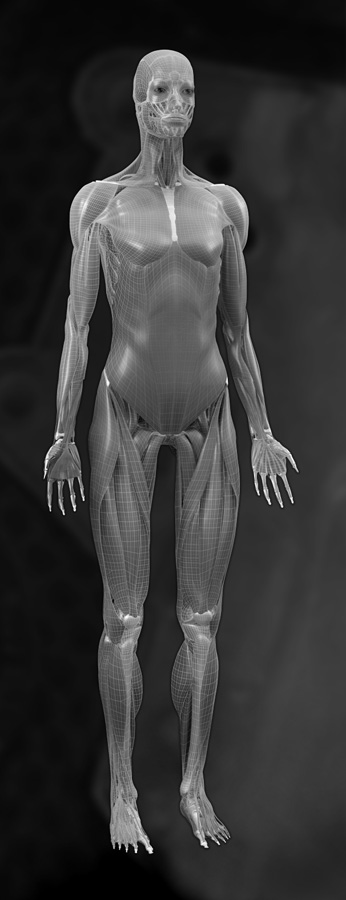3D Female Muscular System