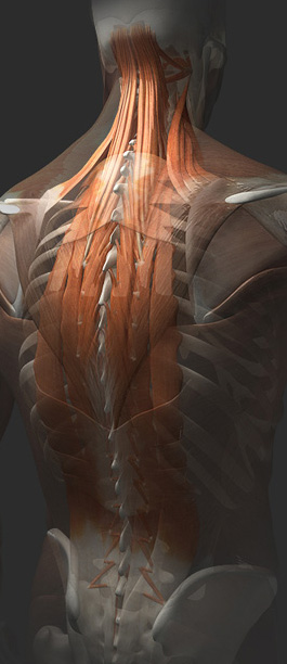 3D Female Muscles of the Back