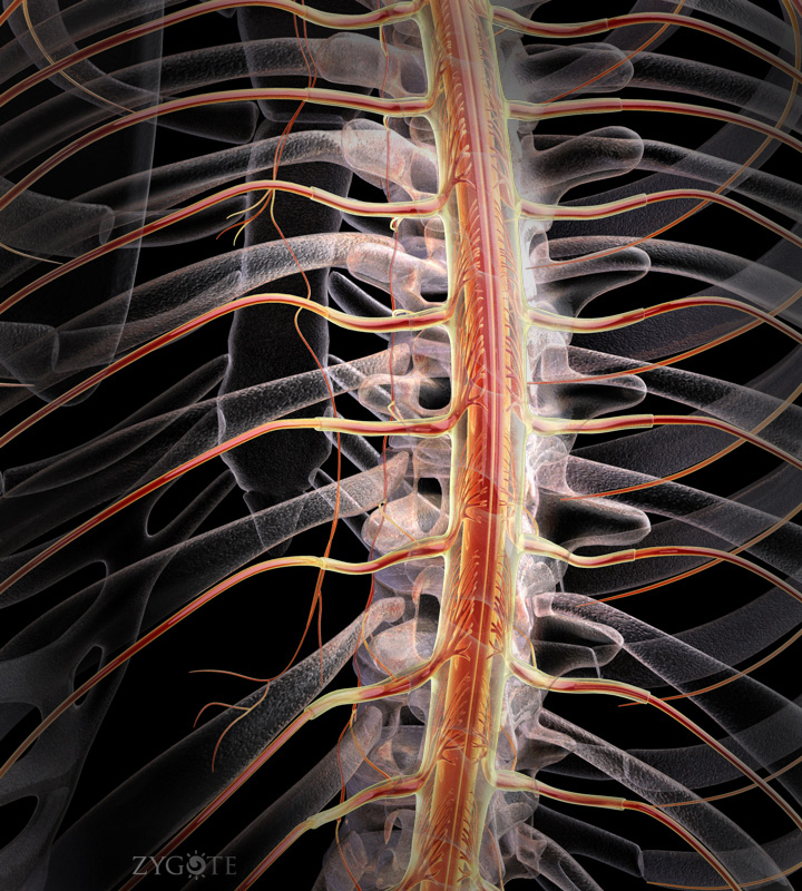 3D Female Spinal Cord with Branch Pairs