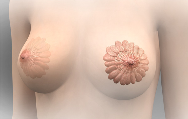 3D Female Mammary Glands