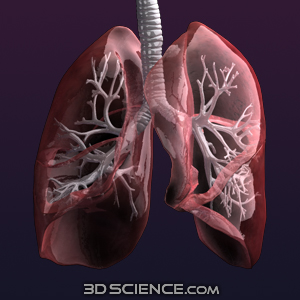 3D Female Respiratory System
