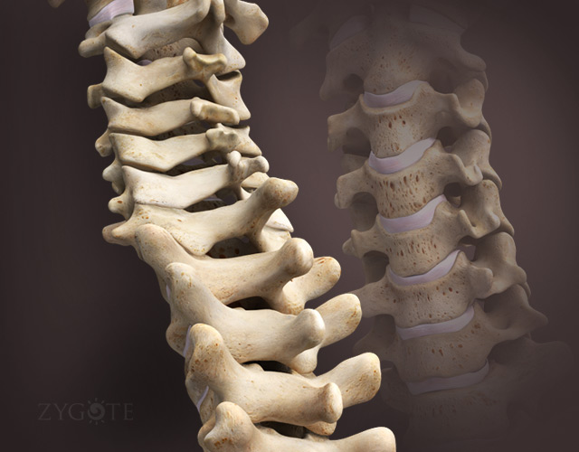 3D Female Skeleton - Spine