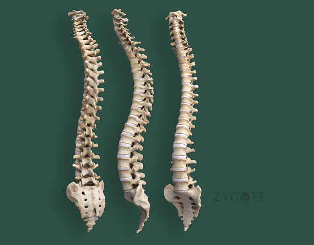 3D Female Skeleton - Vertebral Column
