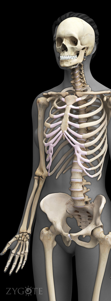 3D Female Skeleton