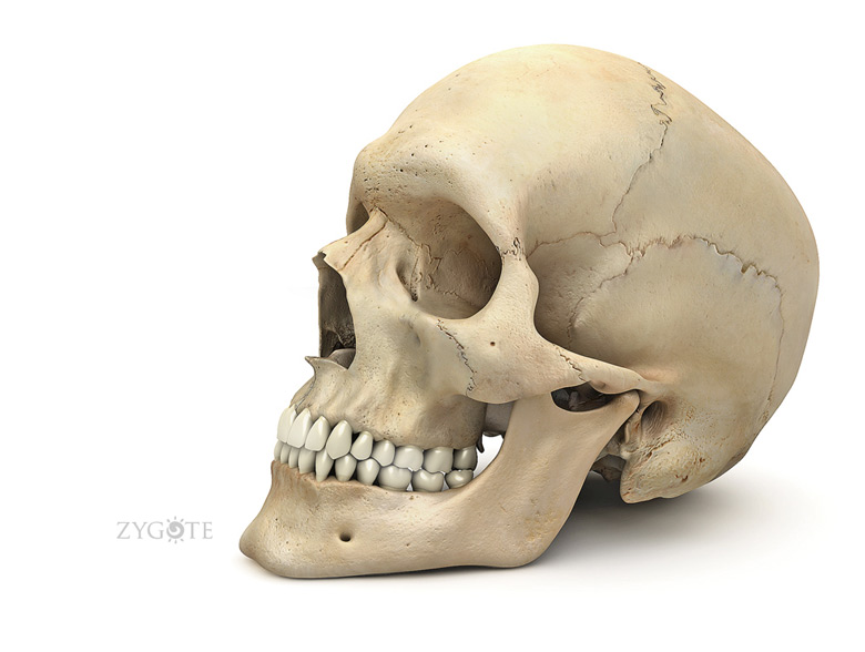 3D Female Skeleton - Skull