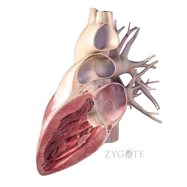 Zygote::3D Heart Model - Lateral Cut