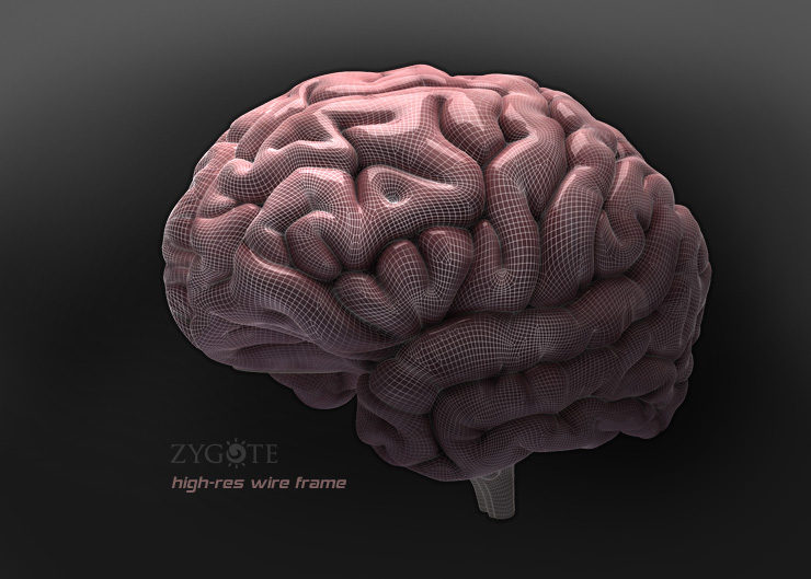Zygote::3D Human Brain Model - Medically Accurate