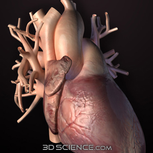 Zygote::3D Human Heart Model