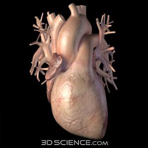 Zygote::3D Human Heart Model