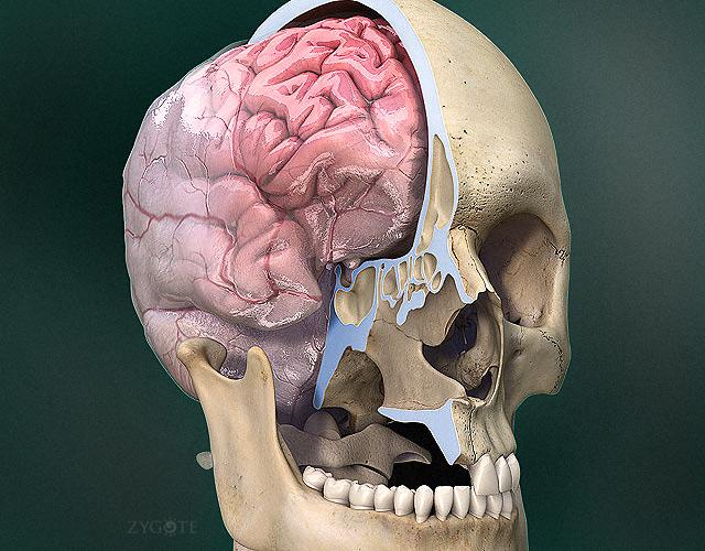 Zygote::3D Human Skull Model
