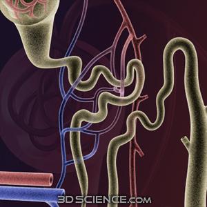 Zygote 3d Kidney Nephron
