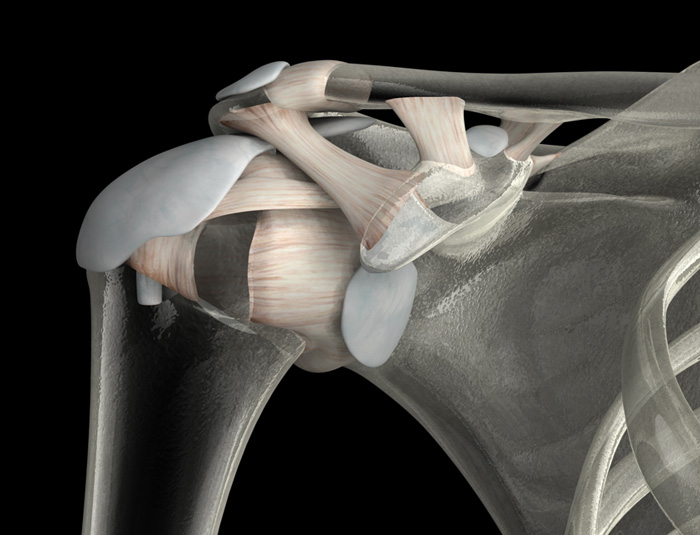 3D Male Ligaments and Bursae of the Shoulder