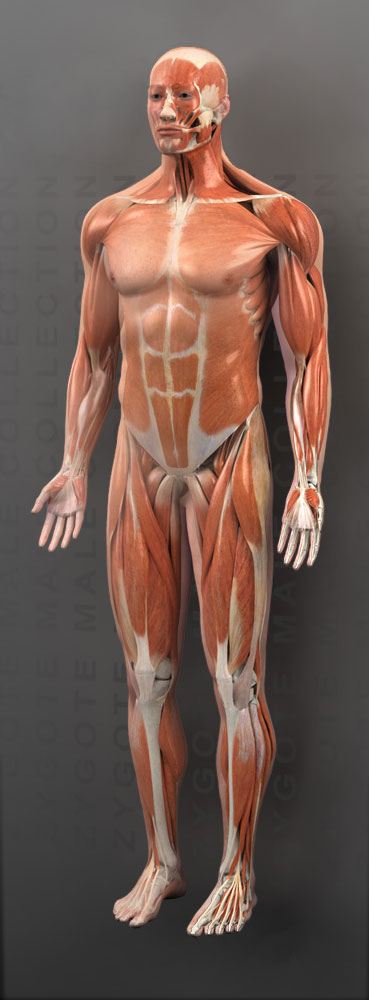Zygote::3D Male Muscular System
