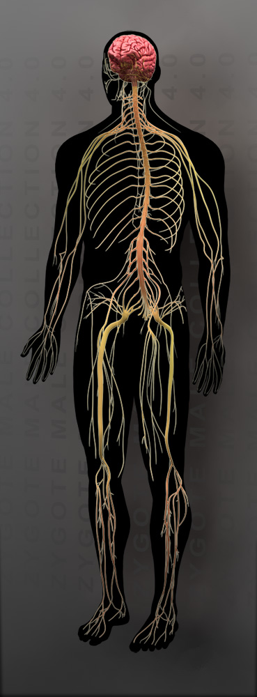 Zygote3d Male Nervous System