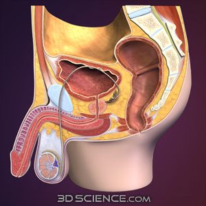 3D Male Reproductive System Sagittal