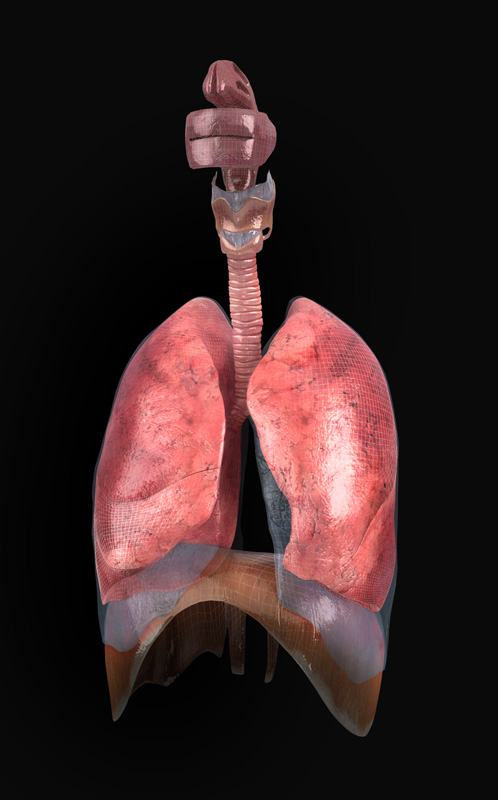 3D Male Respiratory System