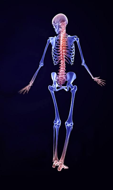 zygote::3d male skeleton model, Skeleton