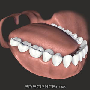 3D Teeth & Gums