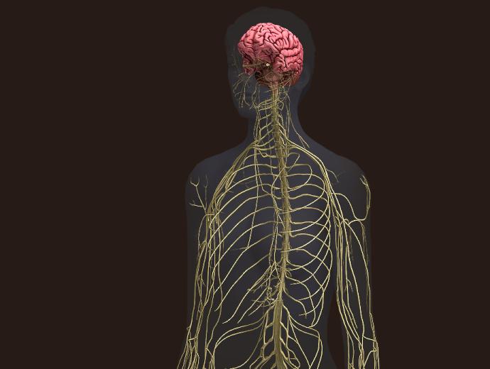 Central nervous system diagram 3d gm6fo central nervous system diagram 3d ccuart Images