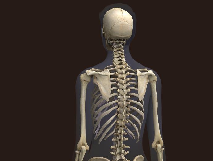 Zygote3d Female Skeleton