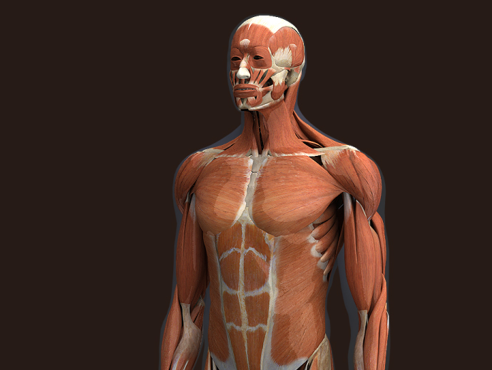 3D Male Musclular System