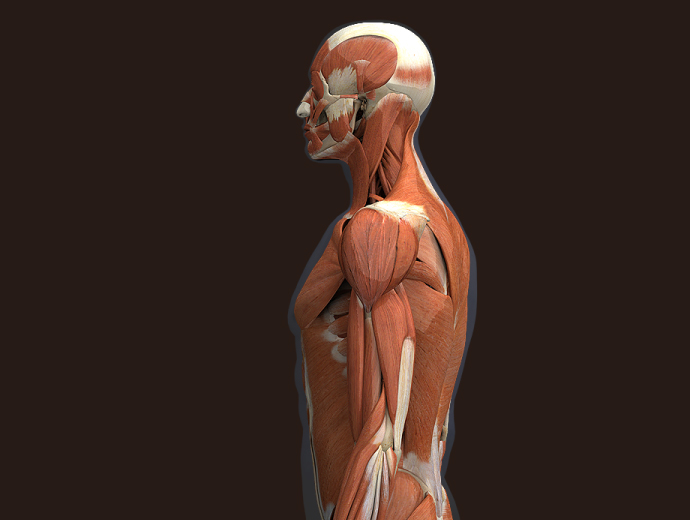 zygote::3d male muscular system, Muscles