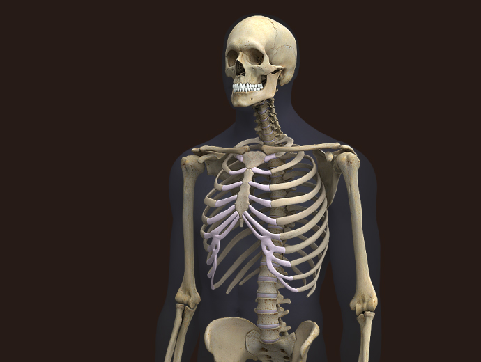 3D Male Skeleton