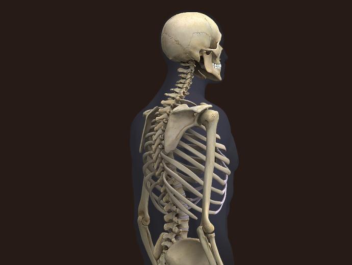 Zygote::3D Male Skeleton Model