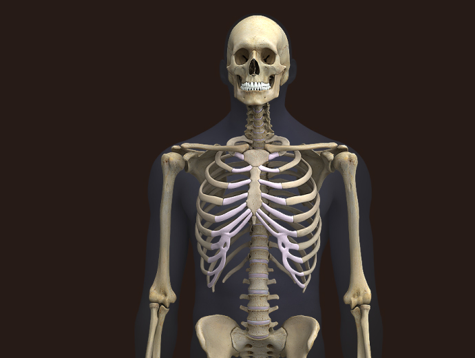 Zygote3d Male Skeleton Model