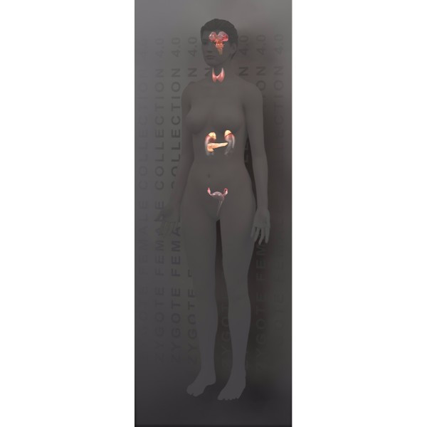 3d female endocrine system (full model)