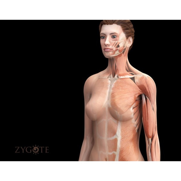 3d female muscular system (full model)