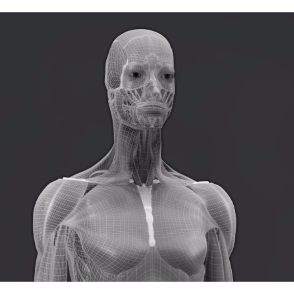 3d female muscular system model polygons/mesh