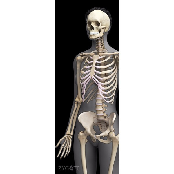 3d female skeleton model