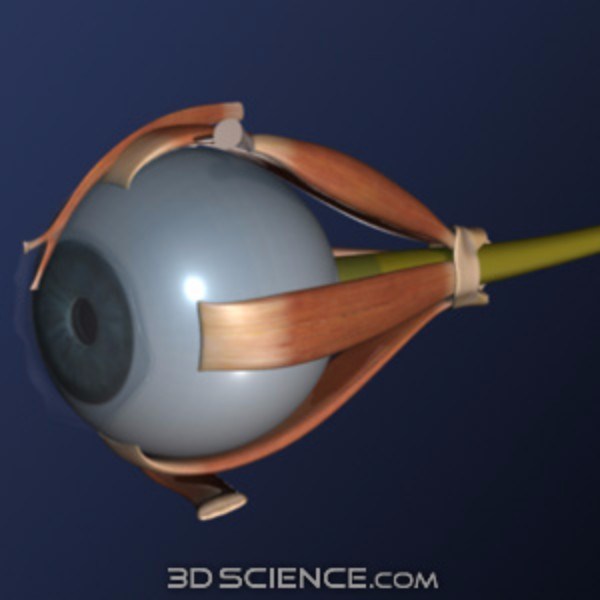 3d eye side view