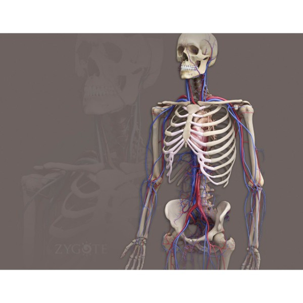 Complete 3D Male Anatomy Model